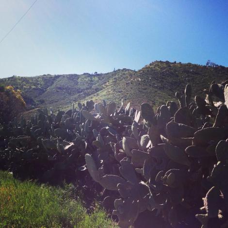 Old cacti