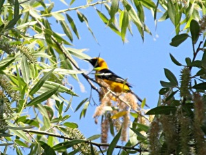 A hooded oriole trying to hide behind the leaves