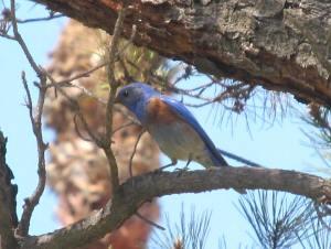 A western bluebird in the tree